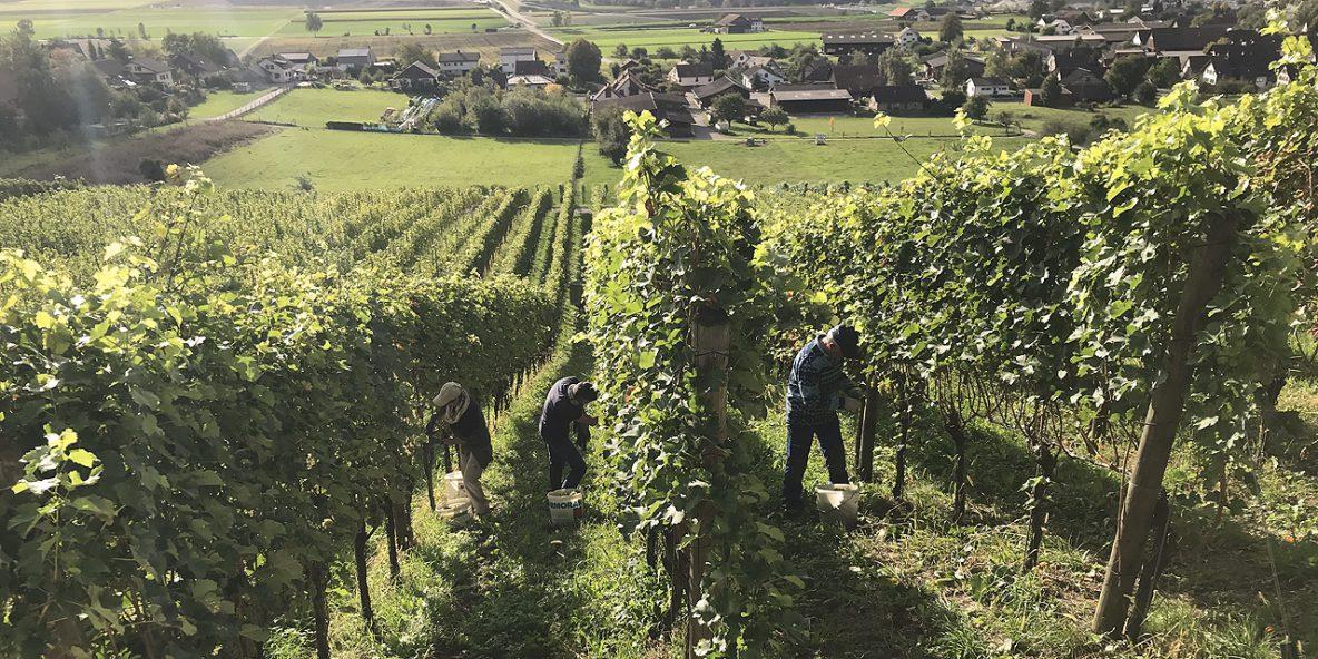 Weingemeinschaft, Weinernte, Wein kaufen