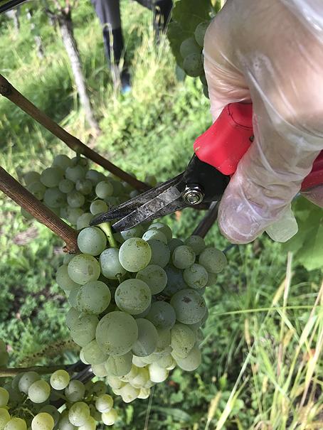 Weingemeinschaft, Wein, Ernte, Wein kaufen
