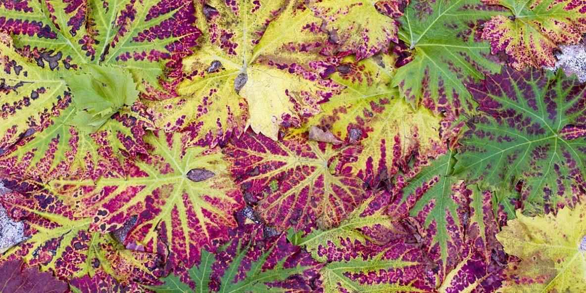 Weingemeinschaft, Wein kaufen, Blätter, Wil ZH, Herbst